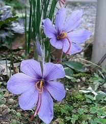 Le Crocus sativus, à l'origine du safran