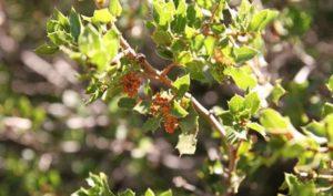 feuilles de chêne Kermès
