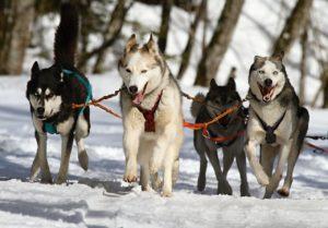 chiens de traineaux en Aubrac