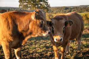 Visite à la ferme en Aubrac