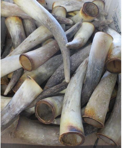 cornes de vaches aubrac pour manches de couteaux Forge de Laguiole