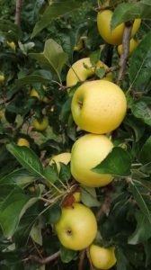 producteur de pommes de l'Aveyron